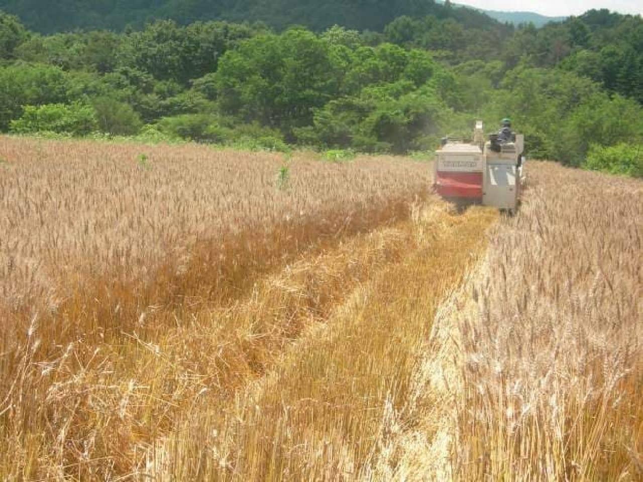 軽井沢町の麦畑