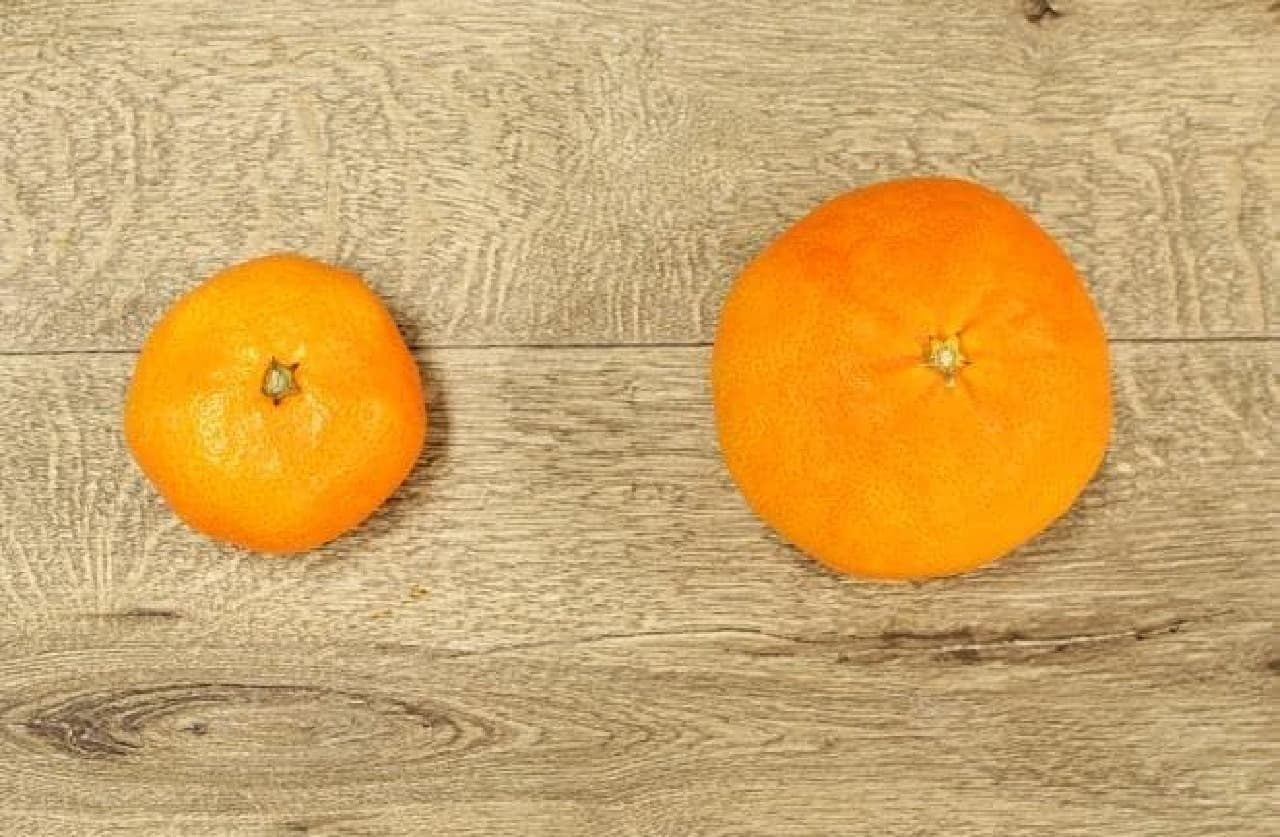 右がクィーンスプラッシュ。一般的な温州みかん(左)と比べるとだいぶ大きい