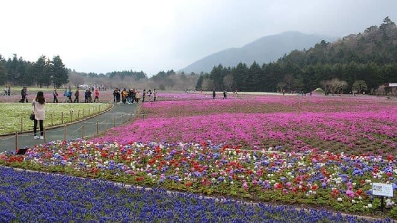 「富士芝桜まつり」は、芝桜と富士山が同時に楽しめる期間限定イベント