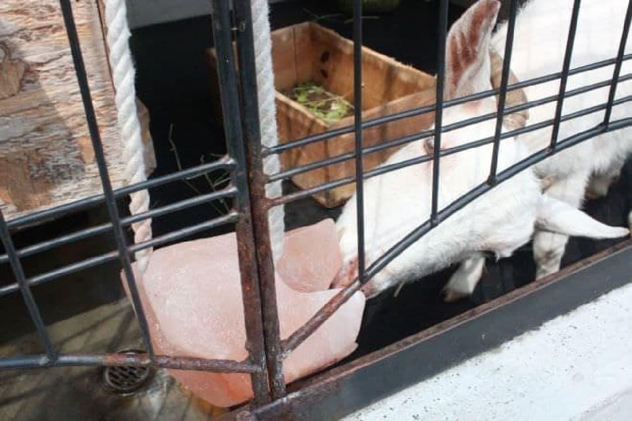 渋谷の「桜丘カフェ」にいるヤギのさくらちゃん