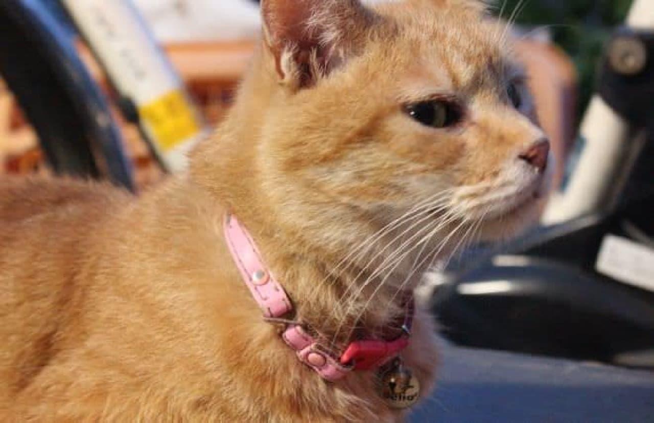 茶トラ柄のメス猫