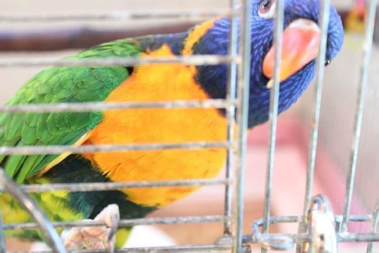 ことりカフェ表参道店で飼育されている鳥