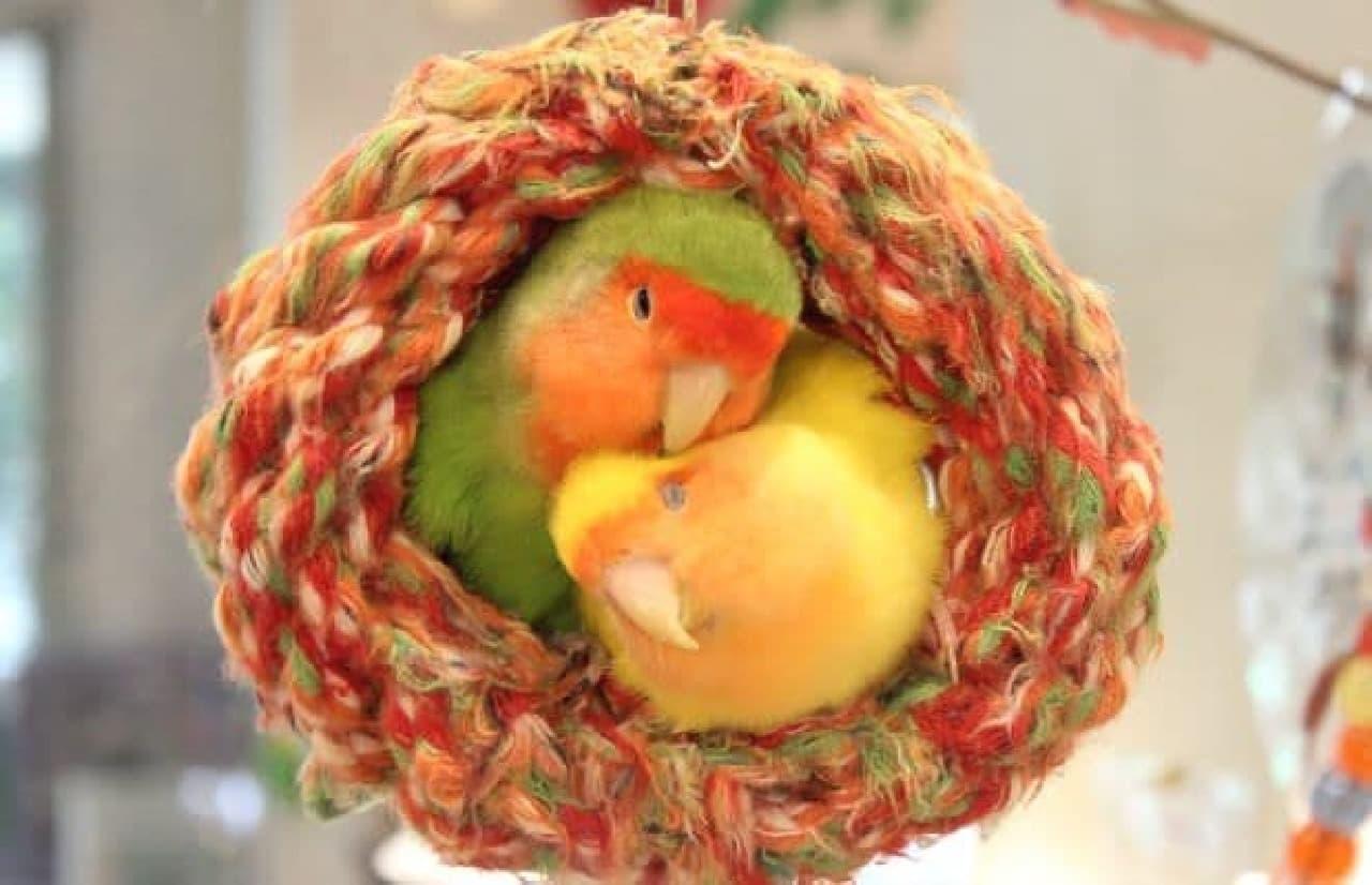ことりカフェ表参道店の小鳥