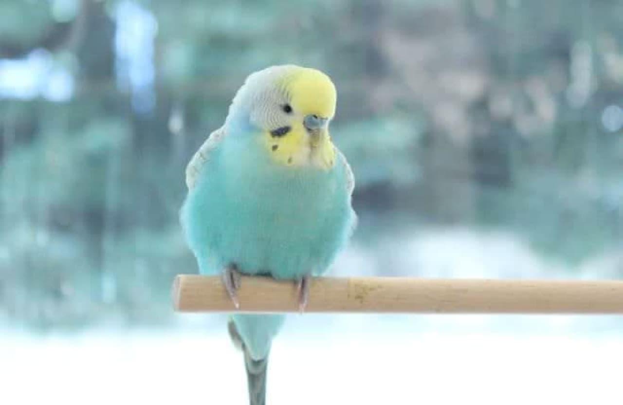 ことりカフェ表参道店内で飼育されている鳥