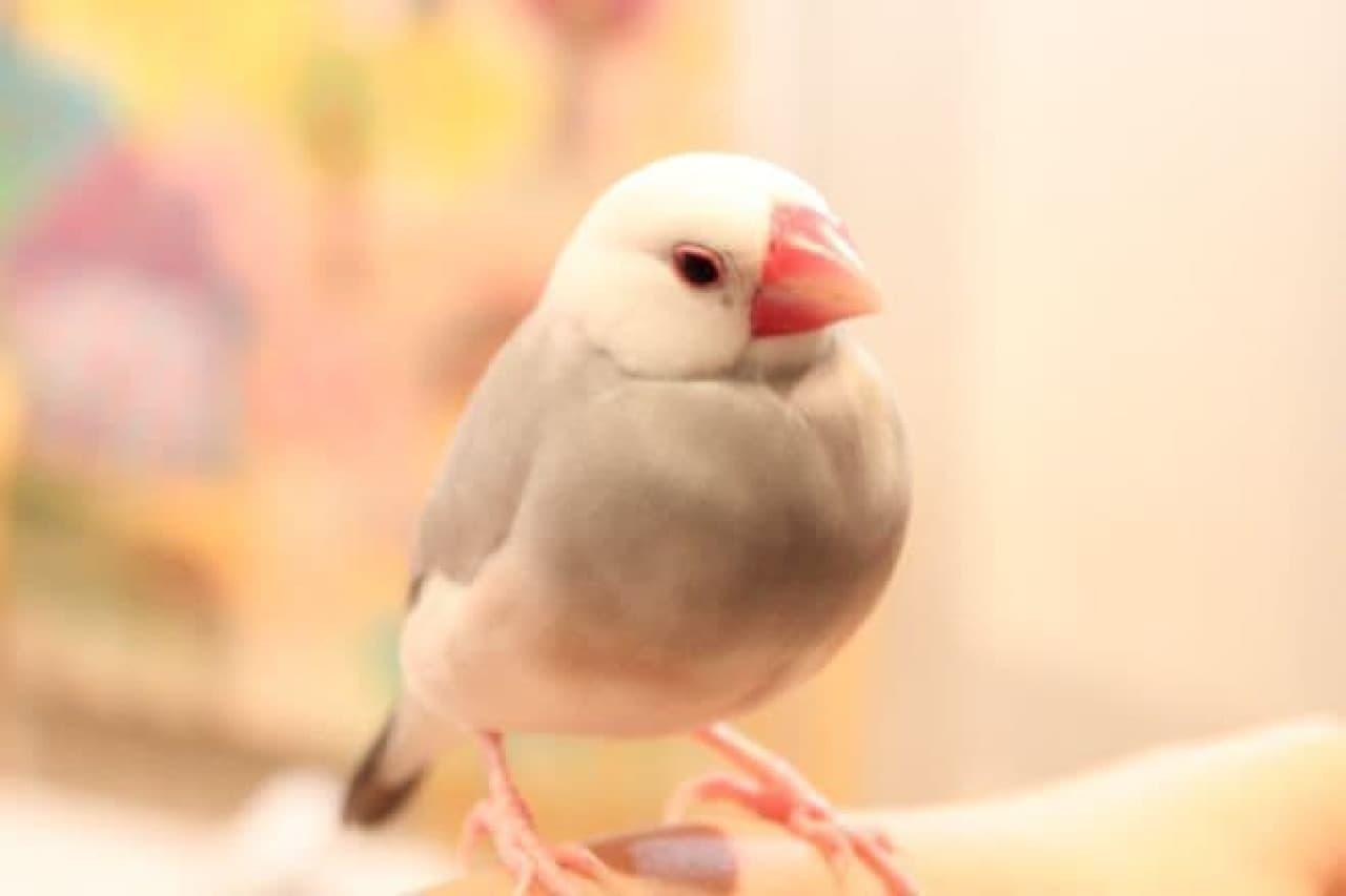 ことりカフェ表参道店の文鳥