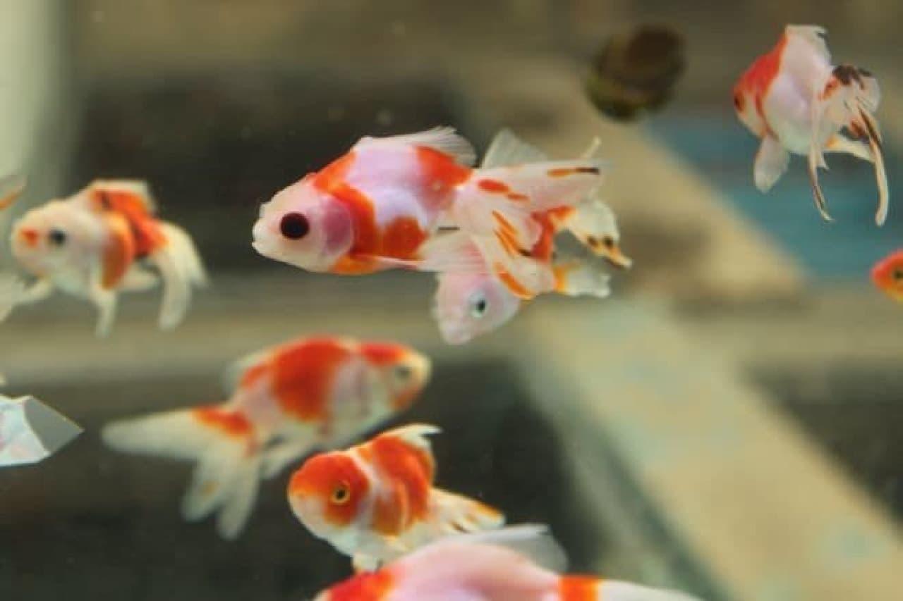 「金魚坂」で販売されている金魚