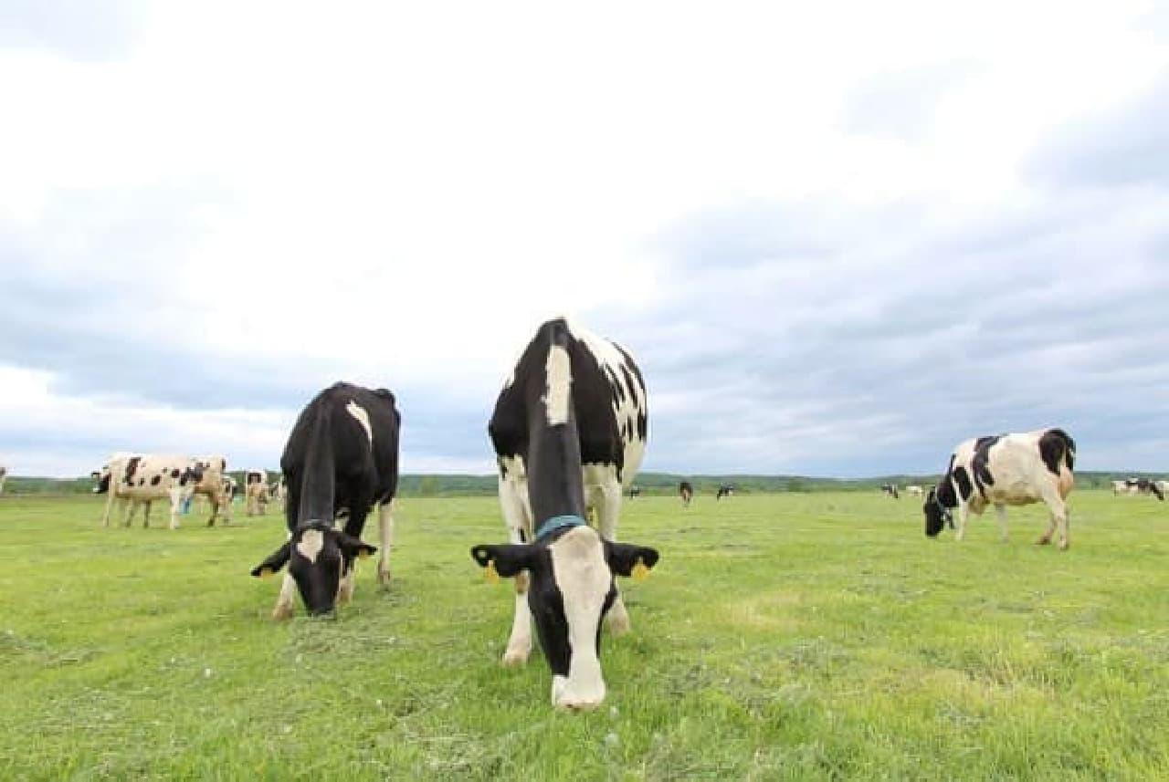 北海道の牧場にいる乳牛