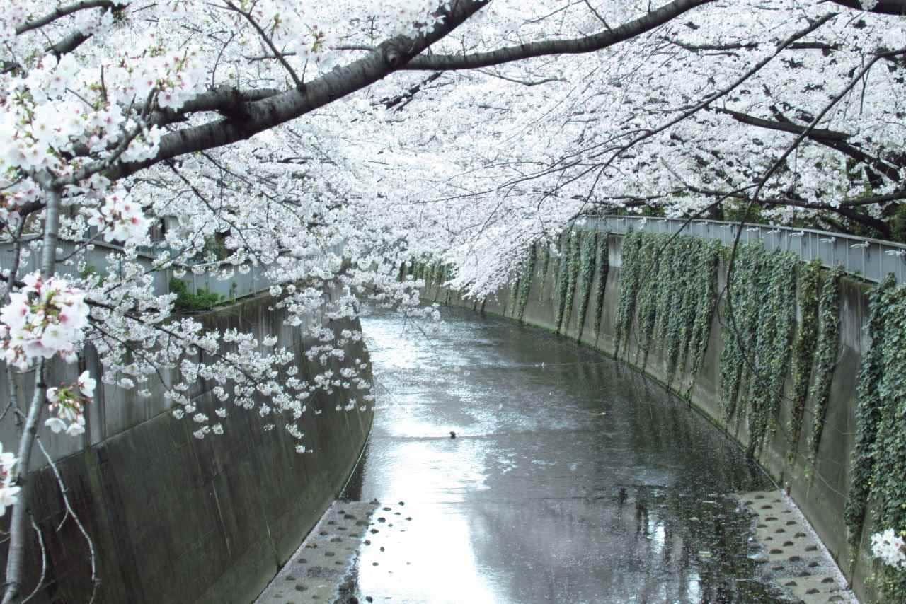 神田川の桜並木のようす