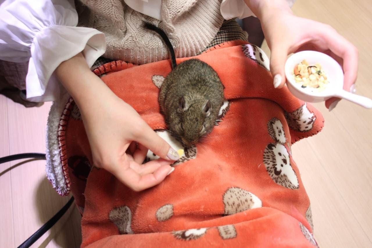 新宿の小動物カフェ「ハリネズミとデグーのお店 ハグカフェ」