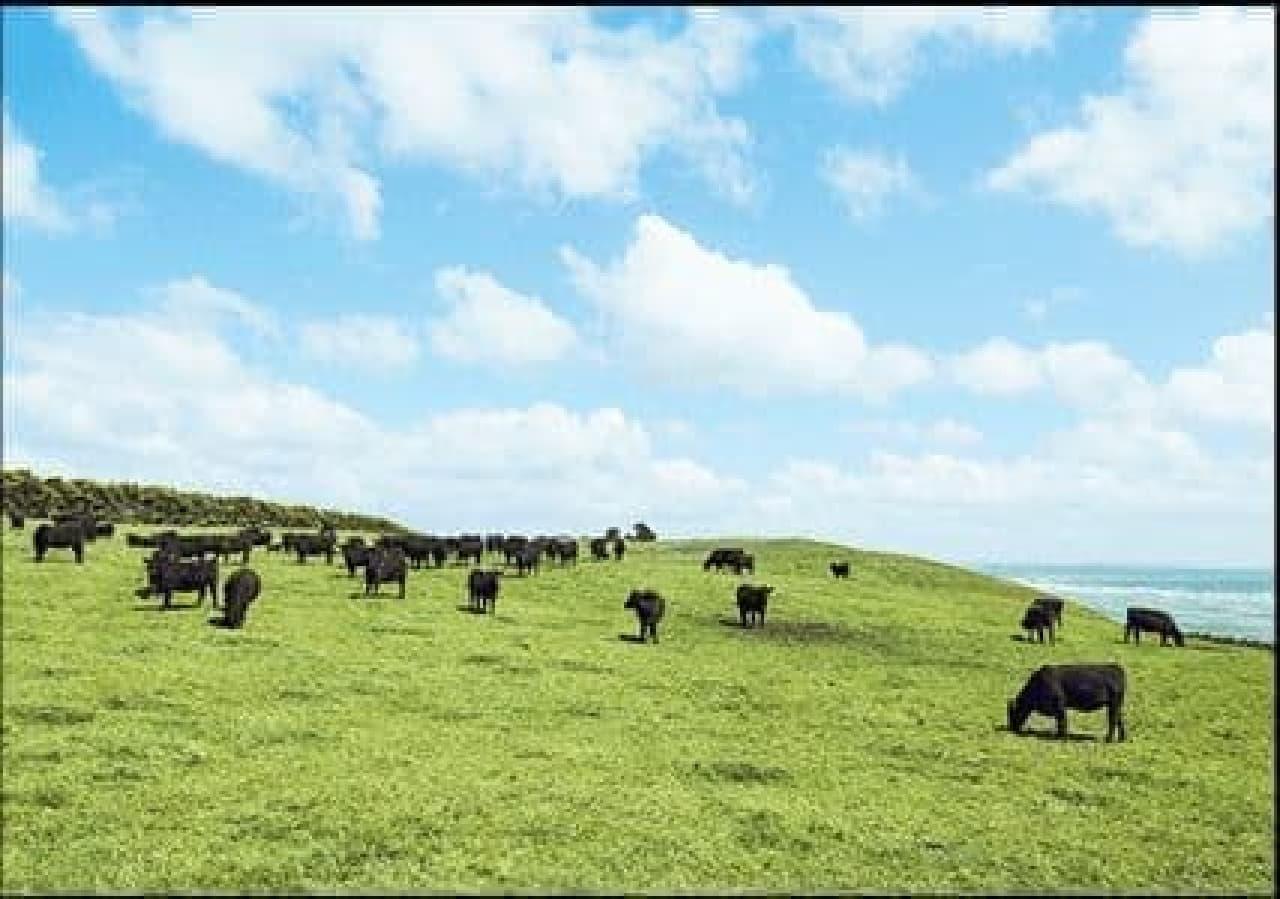 放牧飼育されている牛