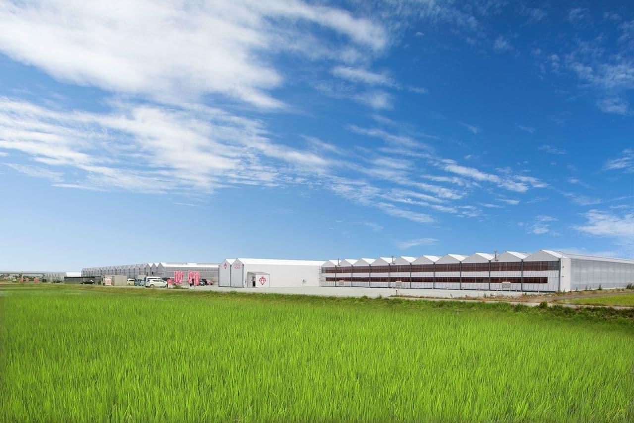 MIGAKI-ICHIGO(ミガキイチゴ)栽培