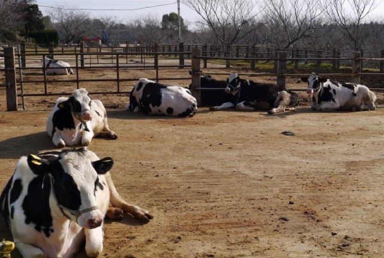 牛を横目に見ながら…