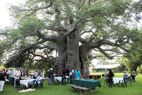 イベント時には、木の外側にもテーブルを設置する