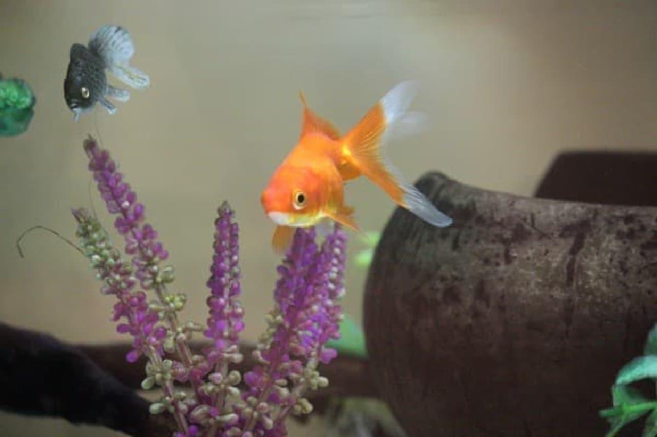 黒い金魚は、ニセモノ!