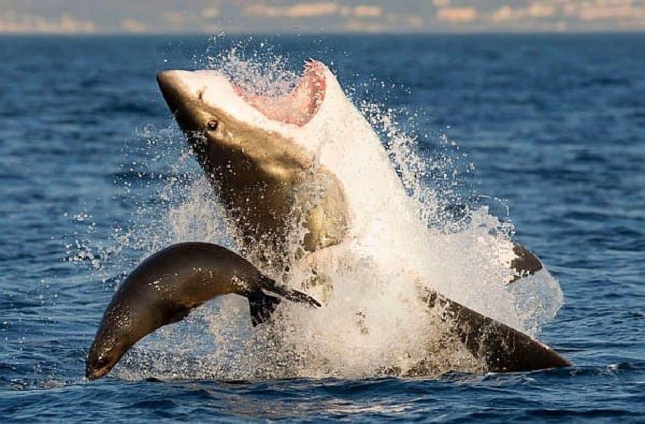 アザラシは、サメの鼻から滑り落ちた後、サメから逃げ切った  (写真撮影:David Baz Jenkins 氏)