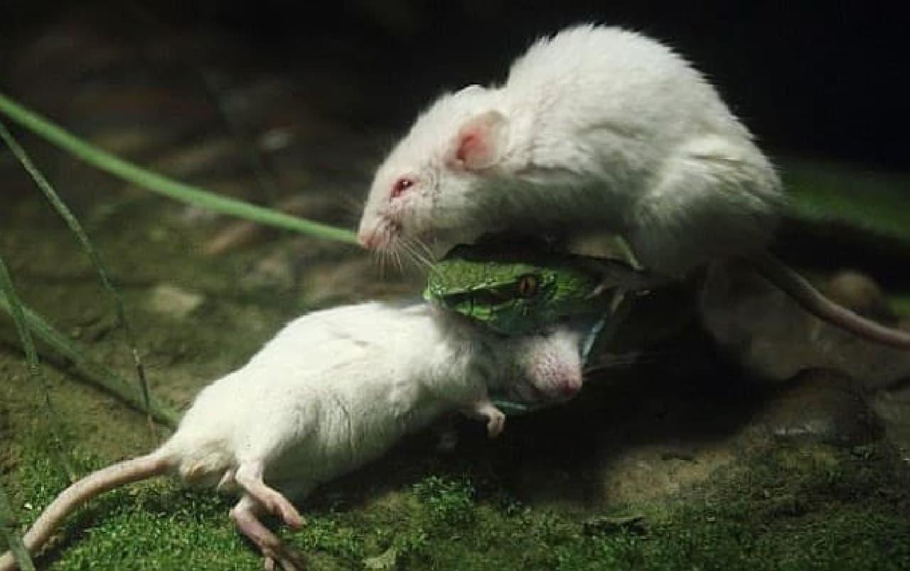 中国 ネズミ 生きたまま