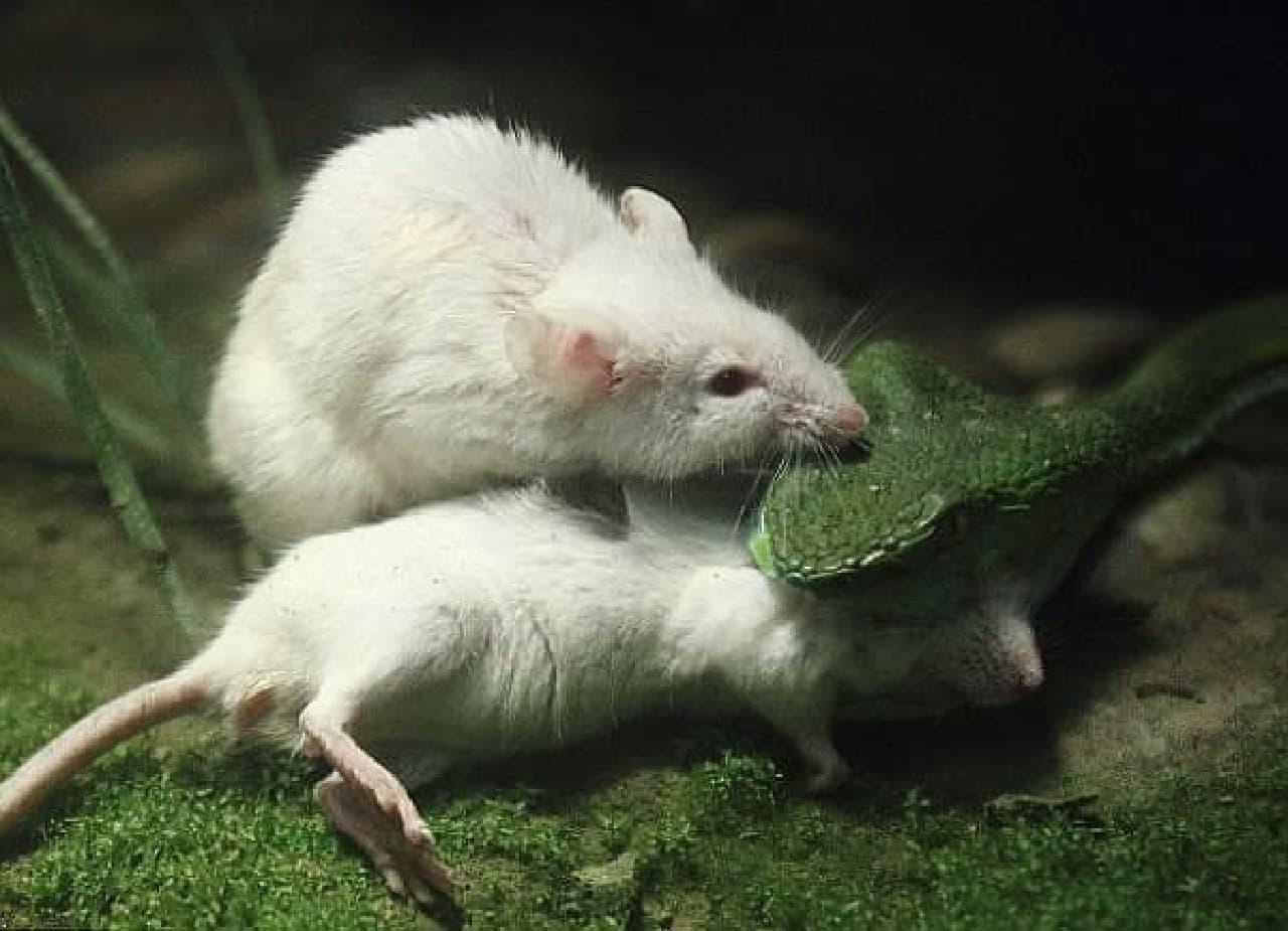 ネズミは蛇に噛みつき(出典:Daily Mail)