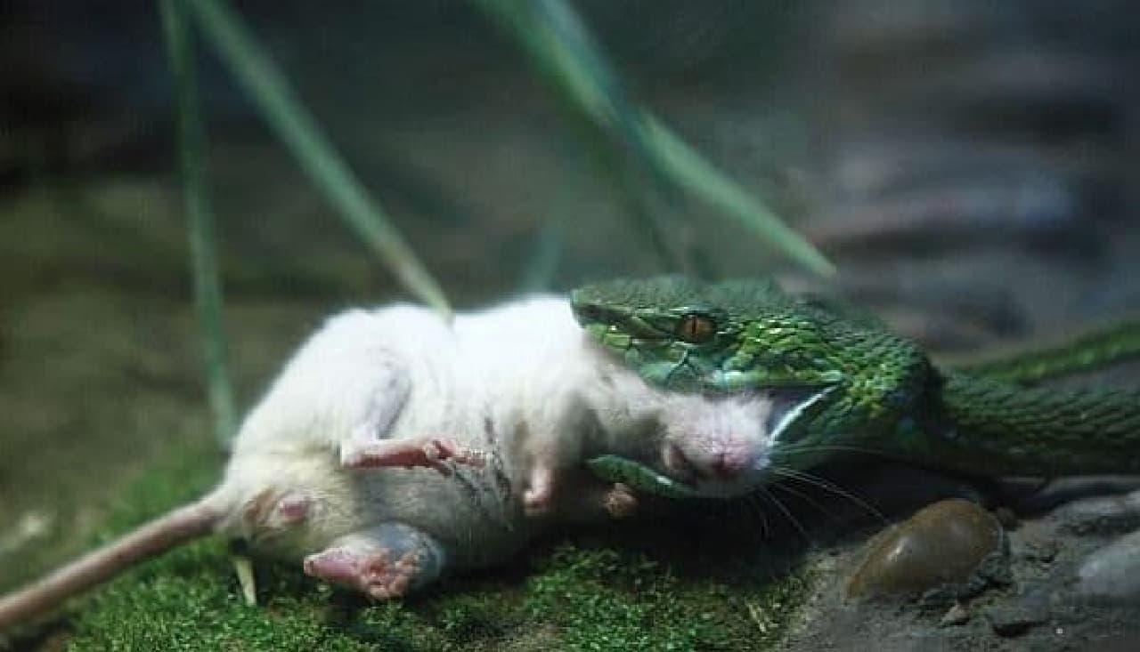 勇敢なネズミは別の蛇に捕獲され