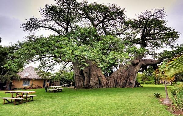 推定樹齢6,000年とされるバオバブの木内部に作られたパブ「Sunland Baobab」