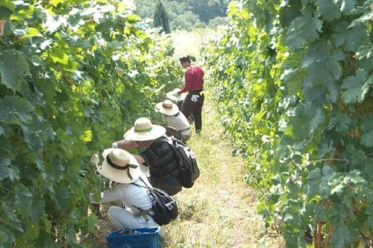 ワイン用のぶどうを実際に収穫