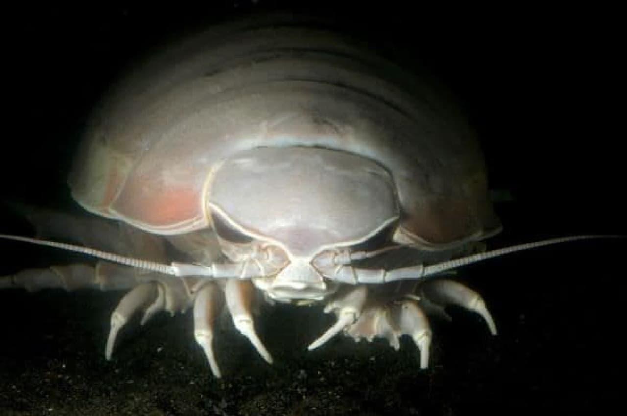 ([[[[)< グソク ([[[[)< グソク ([[[[)<  (C)新江ノ島水族館