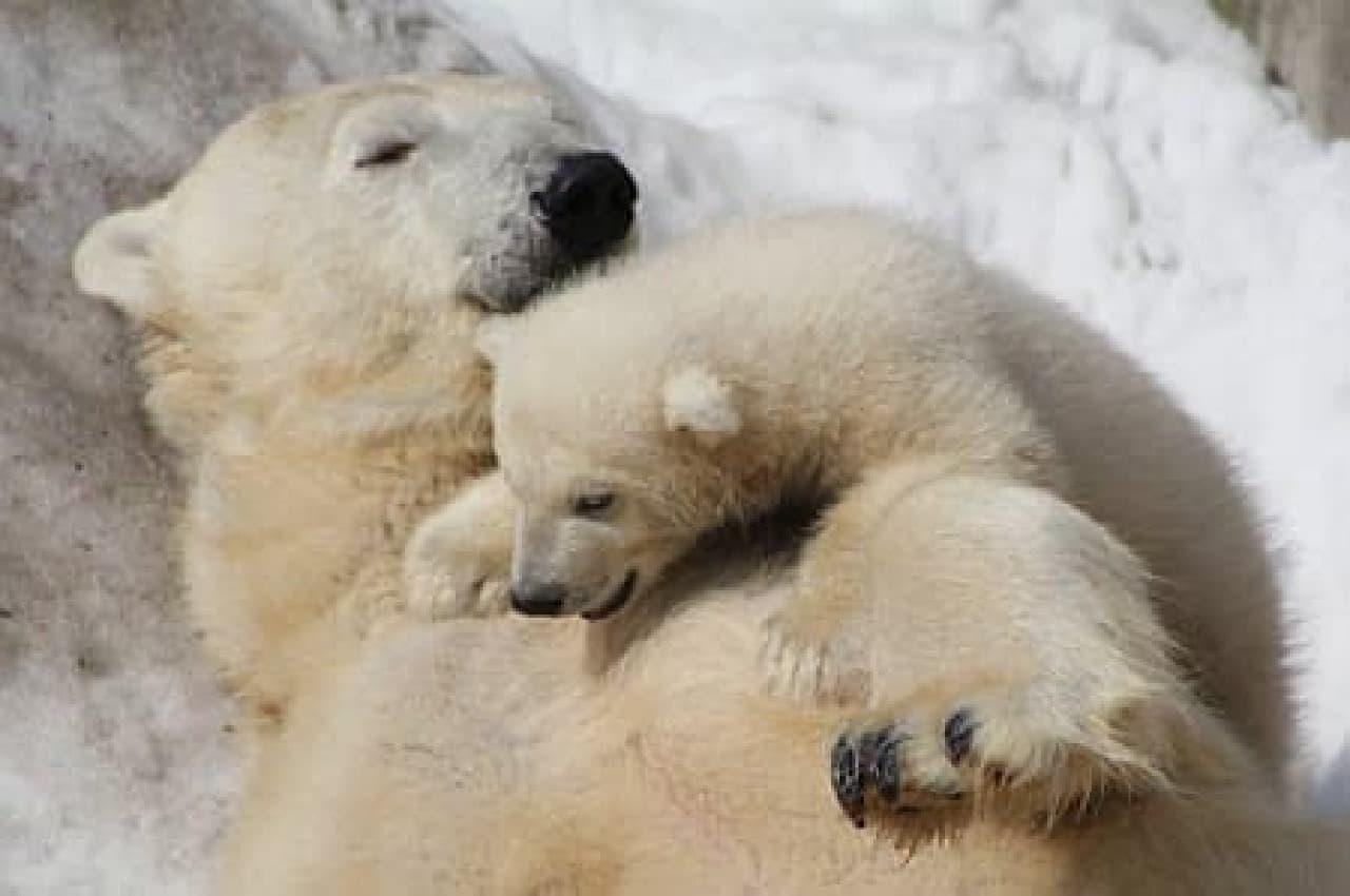 円山動物園の白クマ(出典:札幌円山動物園)