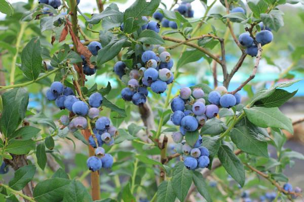 今の季節は、ブルーベリーが食べごろ。