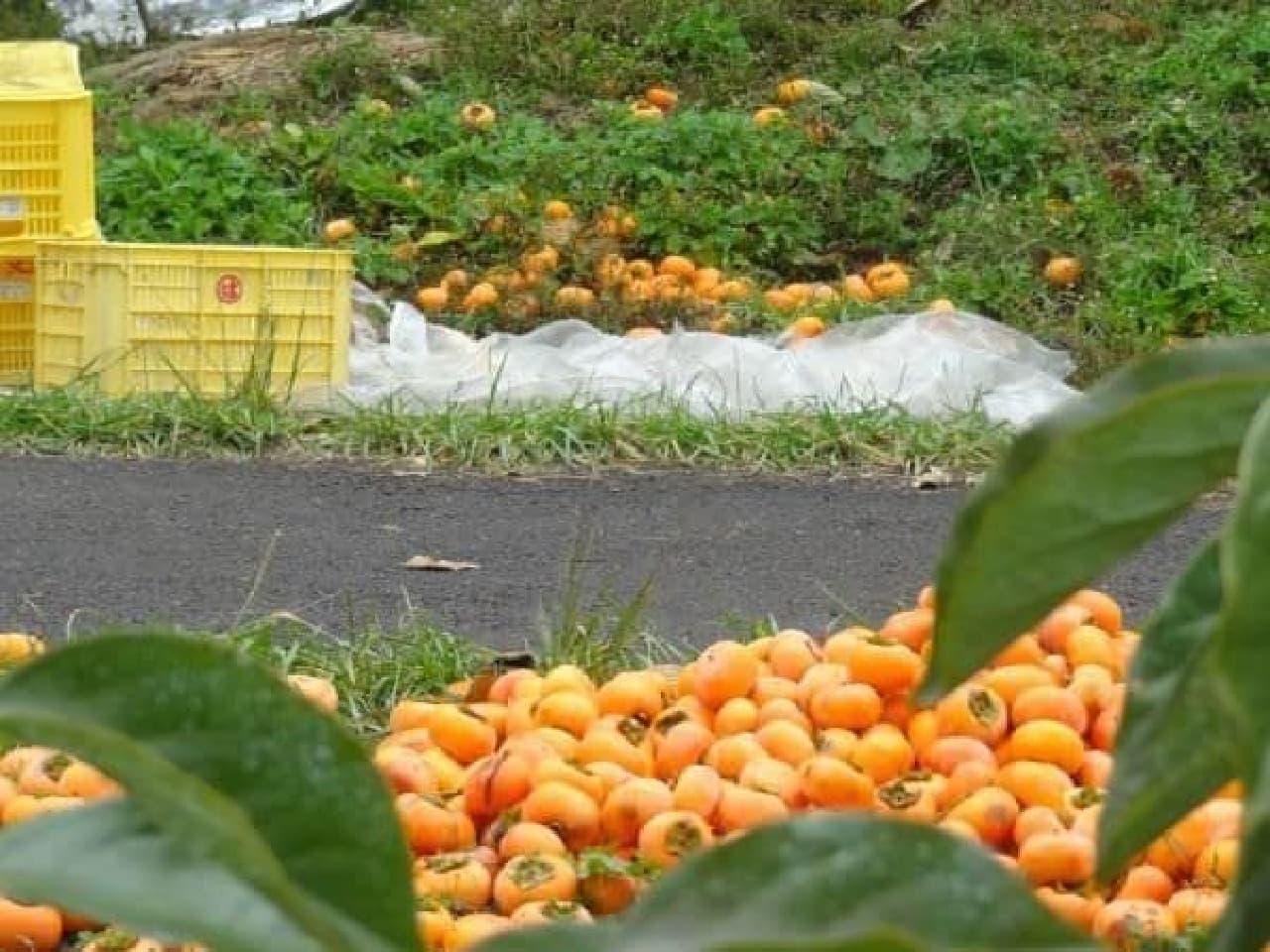 流通できず廃棄されてしまっていた大量のおけさ柿