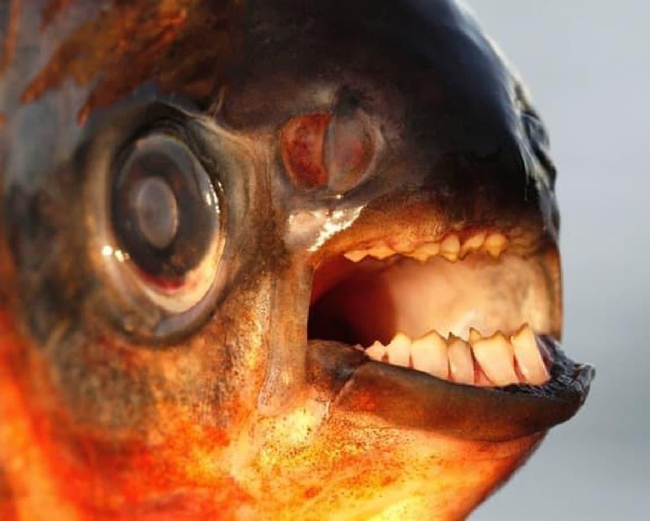 人間に似た歯を持つパクーの口  睾丸に噛みつくのにちょうど良いサイズ?  (出典:デンマーク国立歴史博物館)