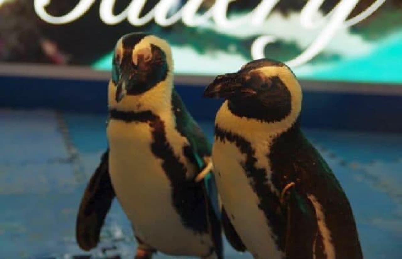 """絆の強い """"つがいペンギン"""" とともに、特別な夜を...  (出典:「ペンギンのいる BAR」公式 Facebook)"""