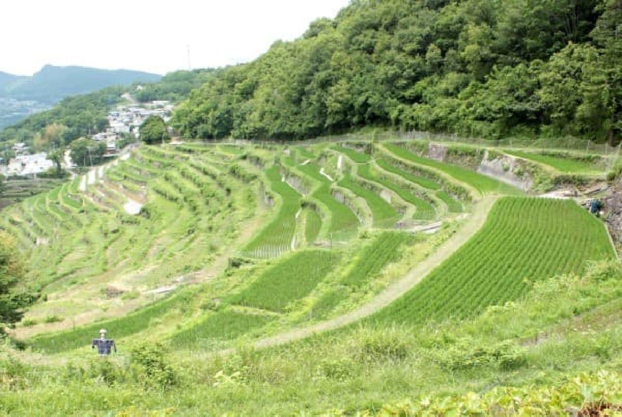 目にも鮮やかな景色「中山千枚田」
