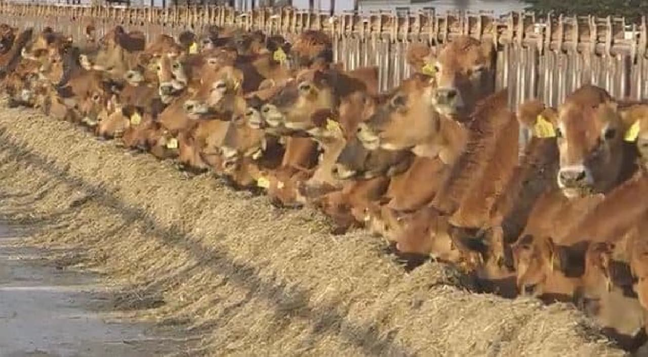 人工肉が実用化されれば、牛も幸せになれる?